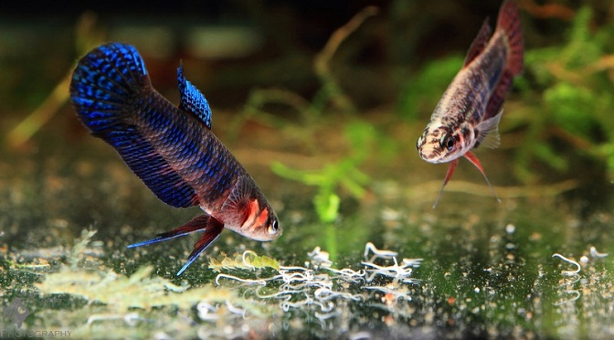 Fish eating grindal worms